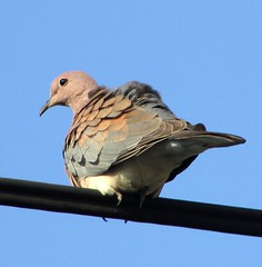 the beady eye (CatnessGrace) Tags: bird birds pigeon pigeons sky bluesky feathers feathersandbeaks nature birdlife birdonawire