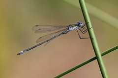 Emerald Damselfly (Lestes sponsa) (bugpics99) Tags: emeralddamselfly lestessponsa damselfly odonata rspb pulborough brooks canon ef100mm macro specinsect wildlifeuk