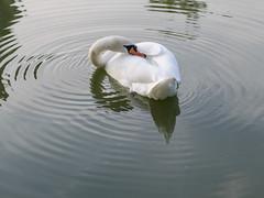 Mute swan / Hckerschwan (schauplatz) Tags: deutschland stuttgart feuersee muteswan hckerschwan wasservogel see lake waterfowl rings ringe water wasser animal tier