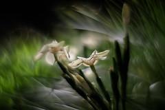 flowers 001 (owenclunn) Tags: australia flowers qld sonya7r2 swirlybokeh macro unlimited wbpa beyondbokeh macrodreams
