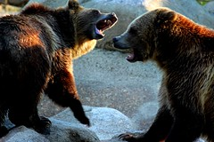 Bears at the Dakota Zoo (cherieroshau) Tags: places visit august 2015 bismarck cherieroshau dickinson