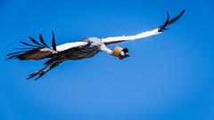 Balearica regulorum in flight (Grue Royale) (Meg4mi) Tags: balearica regulorum royal crane flight bif wildlife wild bird birds animal animals pentax pentaxart k1 55300