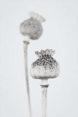 Poppy capsules (Funchye) Tags: poppies autumn white nikon d610 60mm