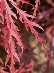 Red Leaves (Karls Kamera) Tags: red leaves acer