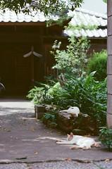 4812016/6/27 (Natsuki_y) Tags: film filmphotography kodak cats cat straycat canon eos1n 85mm iso400