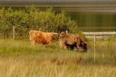 Highland Cattle (robert55012) Tags: queenelizabethforestpark scotland trossachs