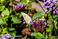 White Butterfly (Bernsteindrache7) Tags: summer sony alpha 100 flora fauna flower garden color blossom bloom blume landscape outdoor park butterfly schmetterling papillion