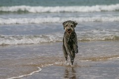 Water fun (frankshepherd2) Tags: frankshepherd animal waves coastline coast seashore sea splash beach dog
