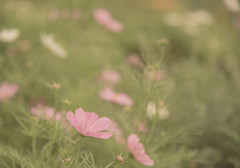 DSC_8581 (megumi.ram) Tags: japan nikon cosmos flower shiga     pink