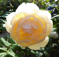 Rose Wollerton Old Hall (Durley Beachbum) Tags: odc rose september light bournemouth davidaustin tranparent