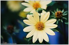 Flower (renseposthumus) Tags: canon 70d tamron adaptall sp manualfocus 70210mm f35