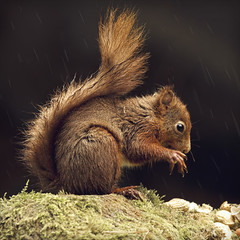 its raining its pouring (Black Cat Photos) Tags: red cute nature wet rain animal moss furry squirrel wildlife yorkshire reserve fluffy eat raining mossy esquilo pouring squiggle dales ardilla soaked yorkshiredales redsquirrel itsrainingitspouring