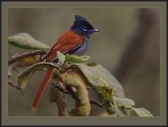 African Paradise Flycatcher (Rainbirder) Tags: nairobinationalpark africanparadiseflycatcher terpsiphoneviridis rainbirder