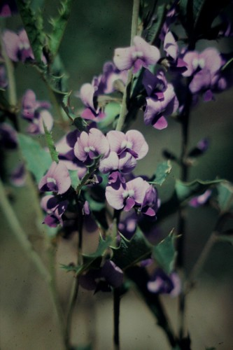 Hovea chorizemifolia (Holly-leaved Hovea)