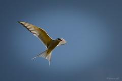 (SteinaMatt) Tags: summer matt nikon arctic tern feralag 2012 kra sterna steinunn paradisaea steina d7000 matthasdttir