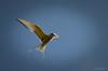 (SteinaMatt) Tags: summer matt nikon arctic tern ferðalag 2012 kría sterna steinunn paradisaea steina d7000 matthíasdóttir
