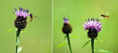 the butterfly meadow (ggcphoto) Tags: macro dof purple bokeh bees violet dslr thistles gettyimages greenbackground sonyalpha butterflymeadow sonya390 gettyimagesirelandq12012