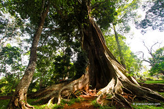 Guess How Old This Tree Is? At Periyar Tiger Reserve, Thekkady, Kerala (Pranav Bhasin) Tags: morning tree water tour wildlife earlymorning logs kerala reservoir serene sanctuary thekkady enchanting periyartigerreserve mygearandme
