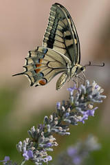 Swallowtail Butterfly Umbria (mistermacrophotos) Tags: 2 macro green up canon butterfly pattern dof close lavender 5d mk umbria