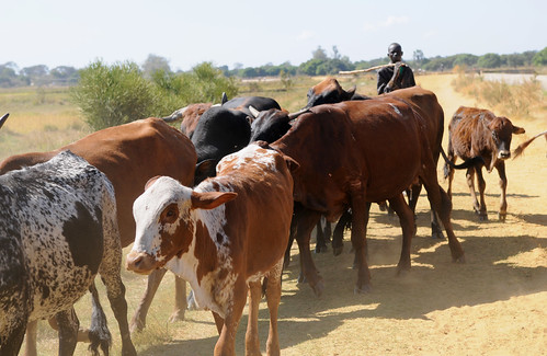 Livestock, Barotse, Zambia. Photo by Georgina Smith, 2012.
