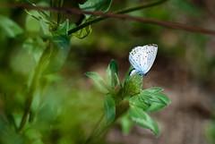 Argus bleu (Dickkopf83) Tags: papillon lycaenidae argusbleu