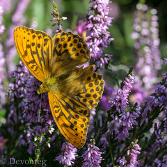 silver washed fritillary in the heather (devonteg) Tags: macro butterfly nikon bokeh heather august handheld 2012 exmoor argynnispaphia silverwashedfritillary nikkor105mm28gvrmicro d7000 naturesgreenpeace dickyspath