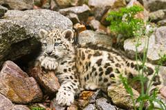 Cool li'l Cat (Cloudtail the Snow Leopard) Tags: cat katze kitten kätzchen junges cub schneeleopard snowleopard irbis panthera uncia groskatze raubkatze zoo karlsruhe cloudtailthesnowleopard