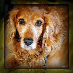 Perro ladrador...poco mordedor (Franco DAlbao) Tags: hairy dog look animal lumix eyes perro ojos mirada douce peludo leicalens dalbao francodalbao