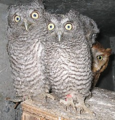 Young Eastern Screech-owls