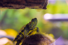Brettsan. The Moss King. (andrewpabon) Tags: baby aquarium tank turtle reptile patterns 28mm sigma res babyturtle redearslider mossball sigma28mm