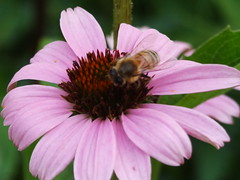 There is a Bee in Echinacea (failing_angel) Tags: london kew echinacea purpleconeflowers holborn bloomsbury britishmuseum newworld cityofwestminster northamericanlandscape kewatthebritishmuseum 260812