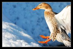 (matt :-)) Tags: wild lake female lago duck mallard mattia anas anasplatyrhynchos reale germano anatra wildduck platyrhynchos 80200mmf28d femmina germanoreale sartirana nikond80 consonni mattiaconsonni