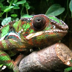 Day 14 - Panther Chameleon (akhenatenator) Tags: worth1000 vivarium liveanimals