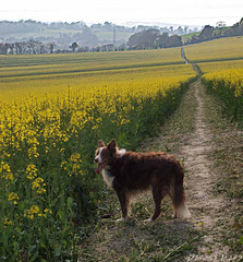 The long path (derena_d.) Tags: dog yellow landscape path walk hampshire bordercollie footpath scapes rapeseed colza 15challengeswinner thechallengegame