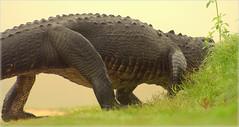 Later Gator (gatorgalpics) Tags: florida gator alligator gainesville foggy fl lachuatrail gainesvillefl foggymorning outforastroll latergator paynesprairiepreservestatepark