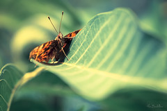 Fredy, papillon malgr lui... (Marc Benslahdine) Tags: summer macro green butterfly bokeh papillon actor lightroom canonef100mmf28macrousm marcopix canoneos5dmkii tripax marcbenslahdine wwwmarcopixcom wwwfacebookcommarcopix marcopixcom