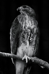 A Posing Hawk (SunnyDazzled) Tags: red bw newyork bird feet pose zoo mono branch hawk feathers bn bearmountain toned tailed blackwhitephotos