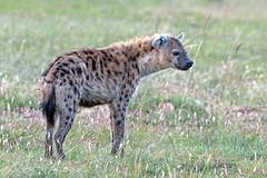 """JAWS"" (MAC's Wild Pixels) Tags: kenya hyena scavenger masaimara spottedhyena allnaturesparadise allofnatureswildlifelevel1 allofnatureswildlifelevel2 me2youphotographylevel1 macswildpixels"
