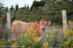 Cow and Fence (Jim Frazier) Tags: park brown flower rural fence cow illinois eyecontact cattle post farm country farming watching goldenrod september il pasture barbedwire stare kanecounty kane agriculture dairy pastoral bovine stcharles q3 corral agricultural bucolic 2012 saintcharles primrosefarm ldseptember jimfraziercom ld2012 20120919primrosefarm