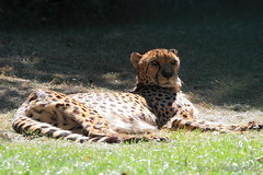 Gepard (Acinonyx jubatus) (hellboy2503) Tags: animal canon germany deutschland photography tiere photo wildlife images 7d getty katze creatures creature tier gettyimages jrg kreatur gepard jger 100400 liegend thegalaxy raubtier groskatze gettyimagescallforartists gettyimagesartistpicks hellboy2503 rememberthatmomentlevel1