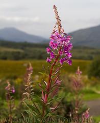 Wild Beauty (Muzammil (Moz)) Tags: flower scotland inverness moz wildbeauty muzammilhussain