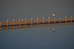 Lake Kerkini (stavros_ch) Tags: lake nature water birds nikon shadows sigma greece serres 70300 kerkini d3000