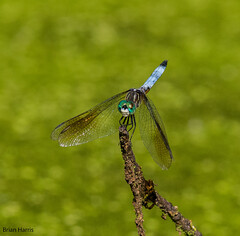 Blue Dasher (b88harris) Tags: blue dasher dragonfly insect green wings wildwood lake harrisburg dauphin county pennsylvania marsh swamp park nature natural exposure sunlight sunshine sun light nikon d7200 nikkor 300mm ngc
