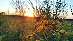 Biedronka (maciey24) Tags: zachd soca kwiat roliny nature ladybird sun sunset plants