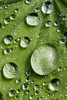 Rain drops onlady's mantle #1 (billd_48) Tags: ohio summer nature plants macro raindrops leaves ladysmantle northfield oh usa