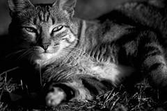 light draws a cat (rondoudou87) Tags: chat cat pentax k1 noiretblanc blackwhite noir blanc black white monochrome light lumiere ombre shadow eyes yeux felin nature jardin garden