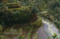 Bali, Gunung Kawi Sebatu, rice fields (blauepics) Tags: indonesien indonesia indonesian indonesische bali island ubud gunung kawi sebatu trees bume natur landscape landschaft reisfelder rice reis fields terraces terrassen green grn agriculture landwirtschaft 1991