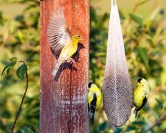 Finches (hz536n/George Thomas) Tags: 2016 cs5 canon canon5d ef300mmf4lisusm finch michigan prescott summer bird copyright upnorth nature thistle feeder backyard