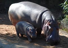 Glcklich (   flickrsprotte  ) Tags: hannover niedersachsen zoo erlebniszoo flusspferdbaby mama flusspferd cherry pumeza flickrsprotte