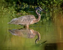 As Close as I Could Get (brev99) Tags: greatblueheron d7100 tamron70300vc reflection pond ngc highqualityanimals perfecteffects10 ononesoftware colorefex nikviveza bokeh blur bird